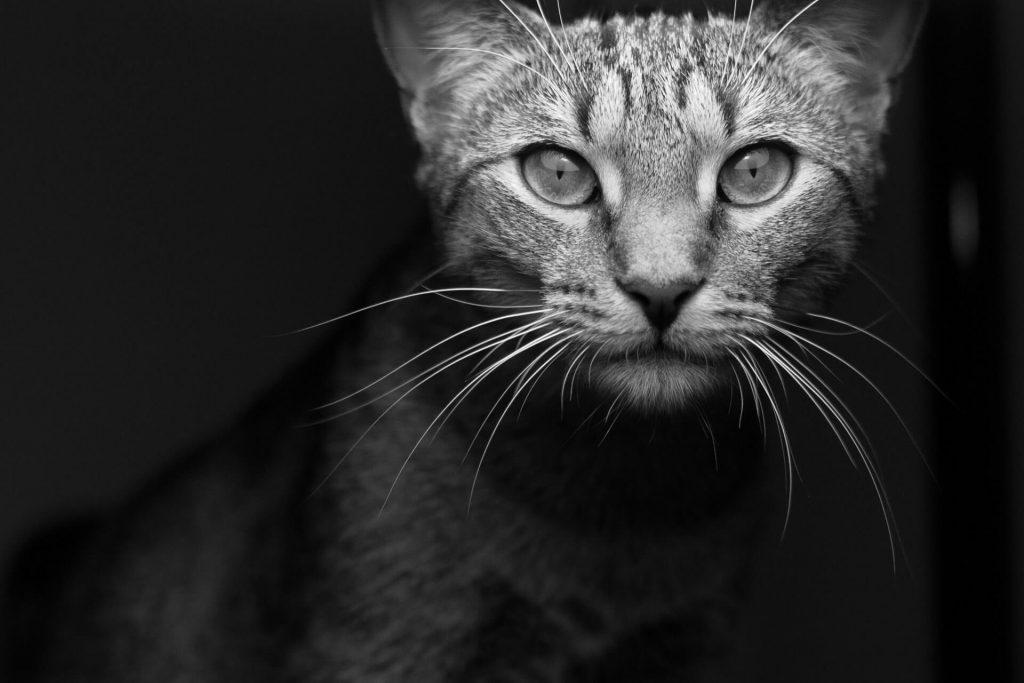 Kitty City Kansas Rescue Cat Foster And Adoption Organization